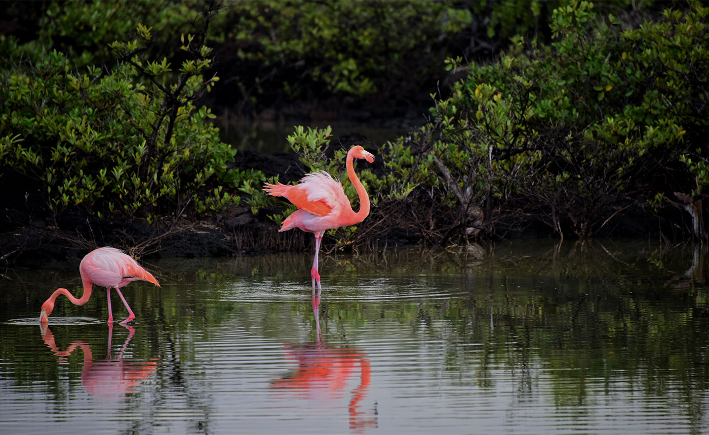 Flamingos in a pond with clear water and a clean environment