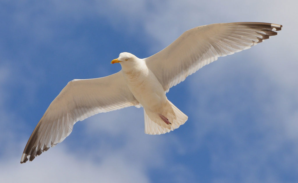 Seagull flying free in the sky, free like us.